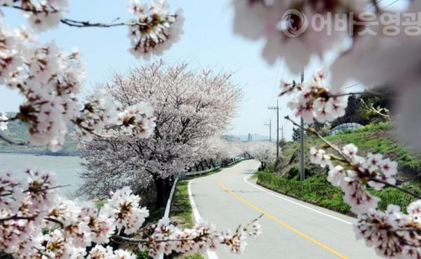 사본 -1.봄 향기 따라 영광으로 떠나요-백수해안도로 벚꽃.jpg
