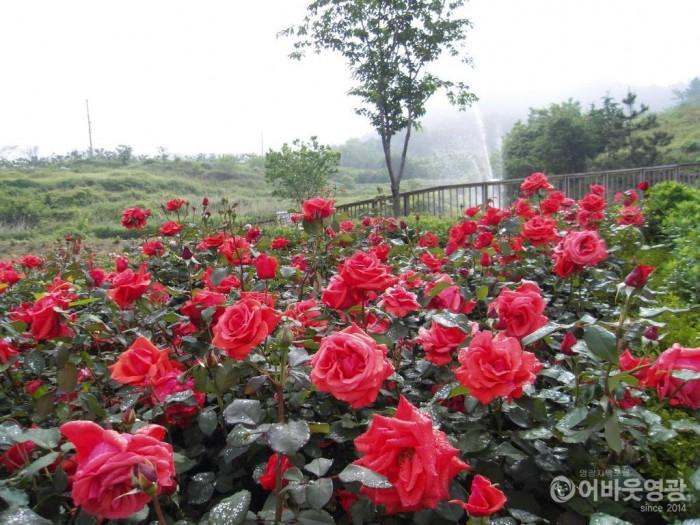 영광군, 향기 가득한 꽃길과 미세먼지 저감 녹지공간 조성(장미).JPG