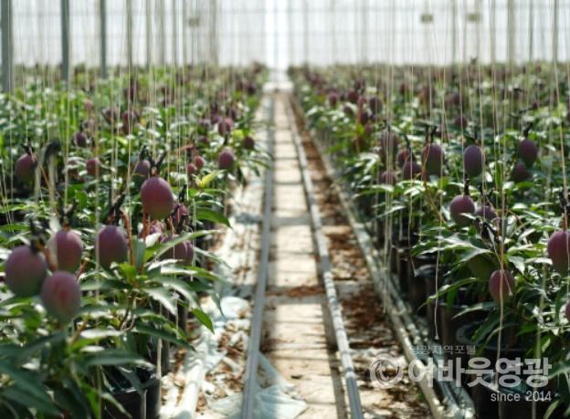 영광군, 아열대과수(망고) 재배 기술교육 실시 4.jpg