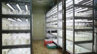 1. 영광군, 멸종위기식물종 2급 진노랑상사화 대량증식 기술 개발 추진 2.jpg