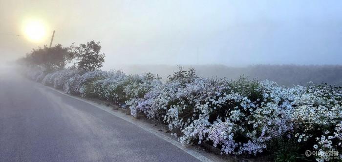 6. 청정전남으뜸마을에 선정된 대마면은 홍교1, 2리 마을안길 구절초로 만개하여 주문들의 웃음이 끊이질 않는다. 구절초 전경 사진2.jpg