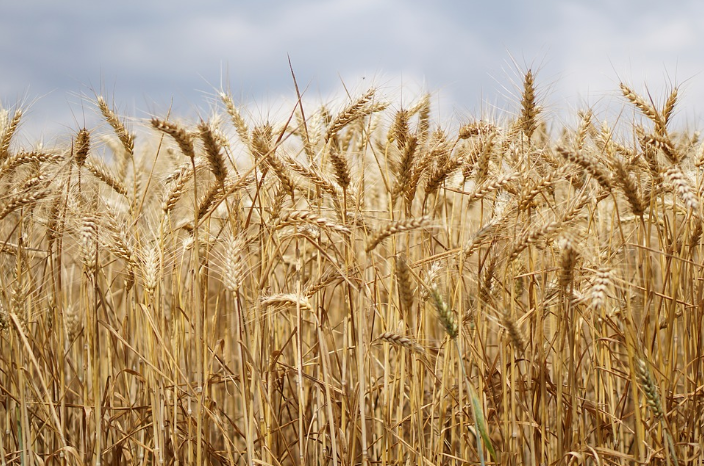 영광군 농작물 재해보험(밀,오디)확대 실시