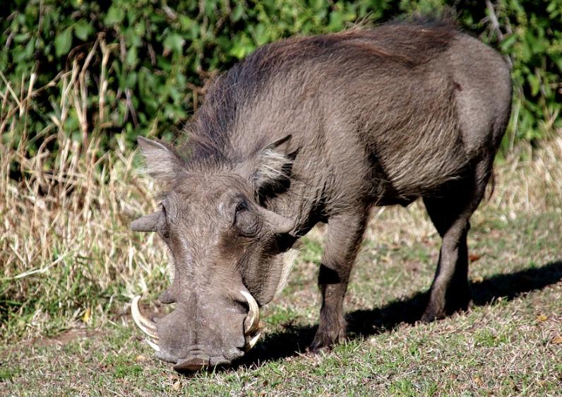 사나운 멧돼지를 만나게 된다면 ??