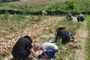 영광군 문화관광과, 양파 재배농가 일손돕기 나서