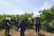 홍농읍, 안전관리과, 도시환경과   손 잡고 농촌 일손돕기 나서