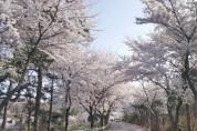 벚꽃길 따라 영광으로 인생여행을 떠나요!