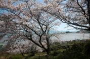 지금 낙월도는 봄꽃 세상