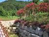 영광 물무산 행복숲 가는 길 가우라, 배롱꽃 만발