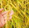 영광군, 2018년 벼 재배농가 경영 안정대책비 지급